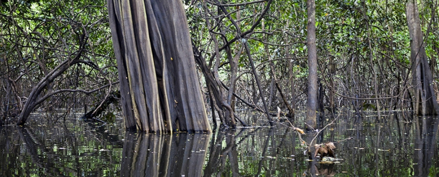 Amazon floodplain trees