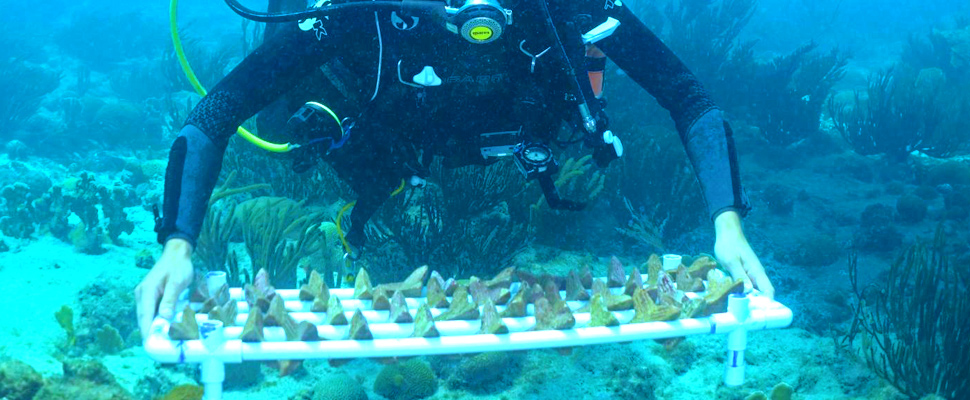 Sowing Corals: a new hope for coral reefs